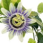 passion flower restless legs